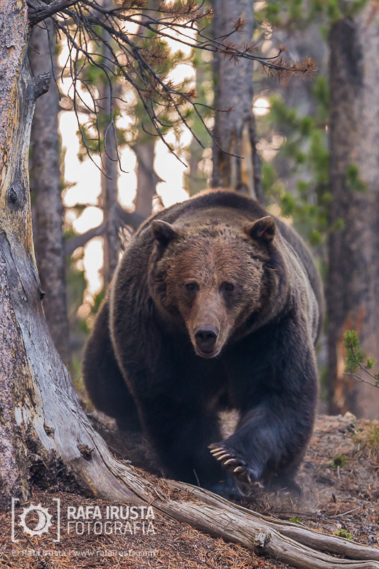 Grizzly bear, Ursus arctos horribilis, Yellowstone National Park, Wyoming, USA