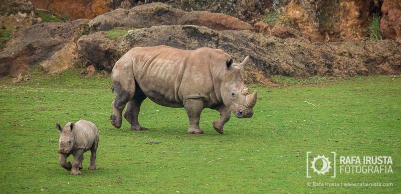 Probando Canon EF 200-400mm f/4L IS, rinoceronte hembra con su cría en Cabárceno, Cantabria