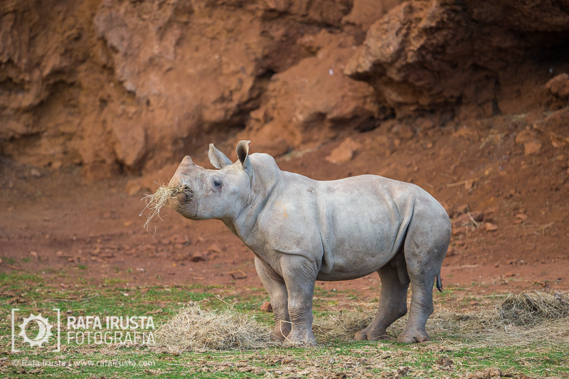 Probando Canon EF 200-400mm f/4L IS, rinoceronte joven en Cabárceno, Cantabria
