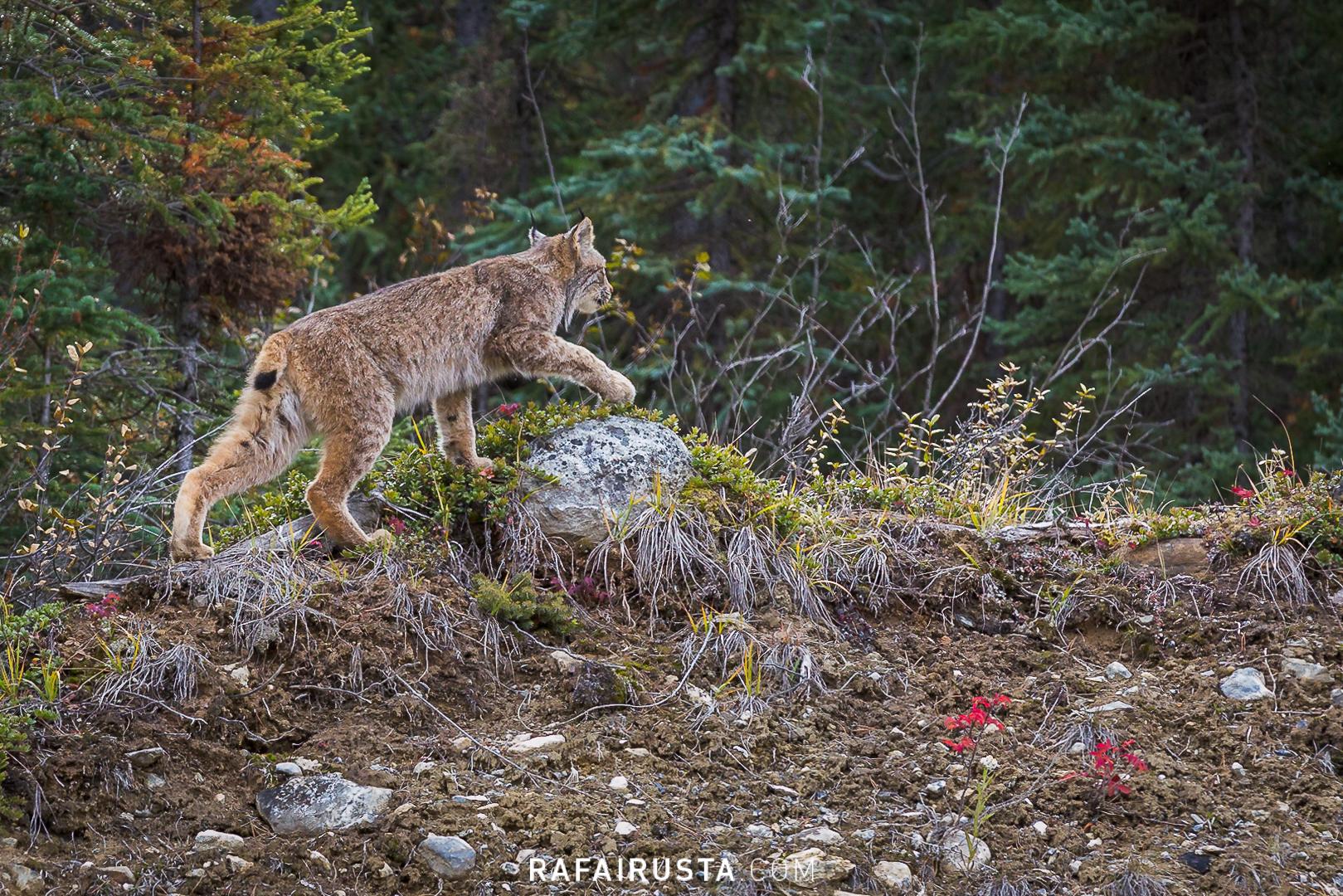 Canada lynx, Lynx canadensis en Jasper National Park, Alberta, Canada
