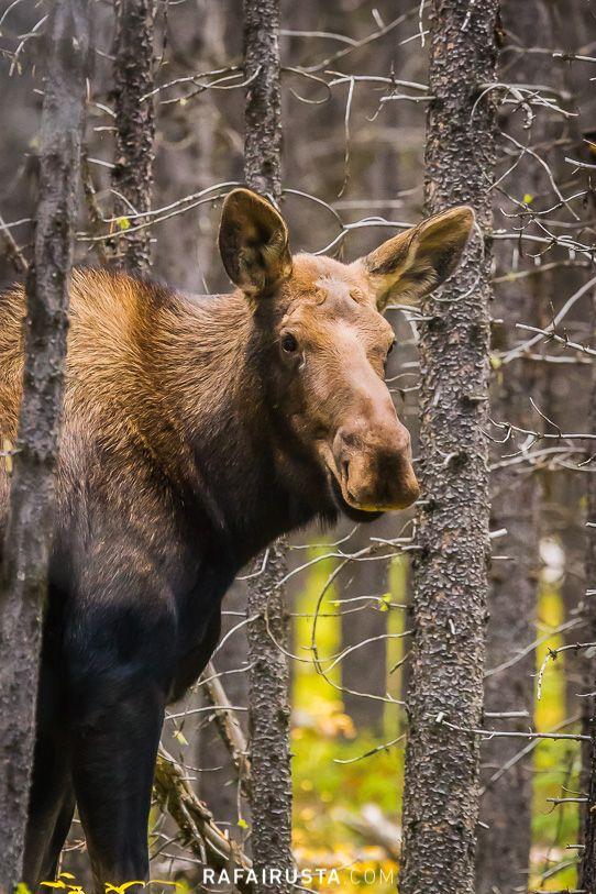 Moose, Jasper, Canadá